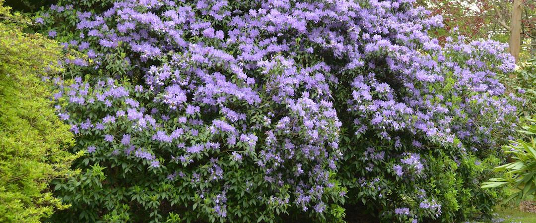 Blue Rhodedendron